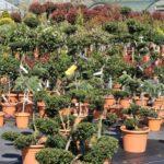 Gartenbonsai und Formgehölze